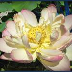 """Water Lily"" by GlendaBorchelt"