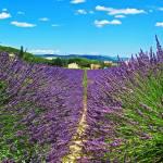 """""""Lavender"""" by Jsquaredphotoandart"""