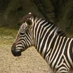 """Zebra."" by JillianAnnePhotography"
