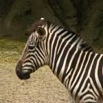 """Zebra."" by JillianAnnePhotography"
