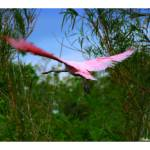 """Spoonbill Flight"" by photonjon"
