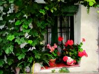 Grapevines and Geraniums Around a Window