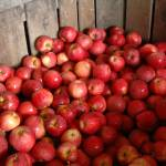 """big bin of apples"" by SusanEllisonArt"