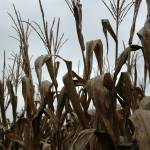 """""""withered corn field"""" by SusanEllisonArt"""