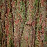 """pine tree bark close up"" by SusanEllisonArt"