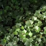 """sunlit ivy"" by SusanEllisonArt"