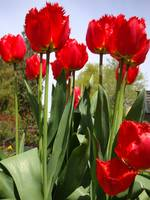 Feather Red Tulips
