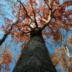 """Old Growth Oak Tree"" by mindseyecreative"