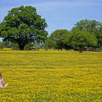 Girl in buttercup meadow Art Prints & Posters by Howard Corlett