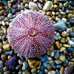 """Sea Urchin on a Pebble Beach"" by derekbeattieimages"