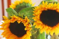 sunflower pair
