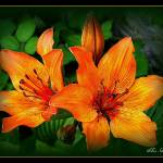 """Lily (hemerocallis)"" by sz"