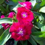 """Dianthus Flowers"" by SandiOReilly"
