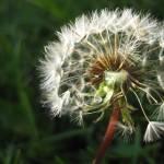 """Dandelion"" by biffybeans"