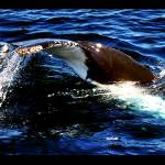 """Jervis Bay Humpback 03"" by TightAsADrum"