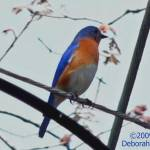 """Bluebird on the Wire"" by DeborahWillardDesign"