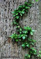 Vine on Tree Trunk