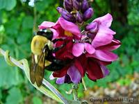 Bumblebee and Kudzu flower