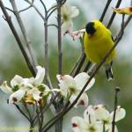 """Goldfinch and dogwood blossoms 2"" by DeborahWillardDesign"