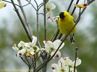 Goldfinch and dogwood blossoms 2