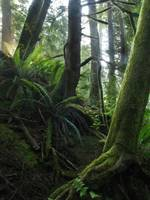 Moss and fern dominate coastal fog forest
