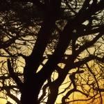 """Torrey Pine silohuette"" by scynar"