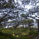 """Canopy of Torrey Pines with flowers"" by scynar"