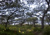 Canopy of Torrey Pines with flowers