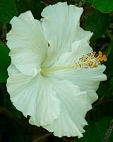 Hibiscus Angel 3