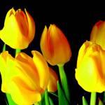 """Yellow Tulips"" by maj"