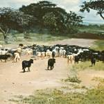 """CATTLE DRIVE KENYA AFRICA"" by AMFINEARTS"