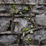"""Stone wall Ivy"" by Adam_Petty"