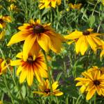 """""""Blackeyed Susan"""" by PuddingStoneAlley"""