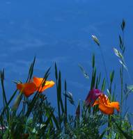 Poppies at Lake Madrone Ca.