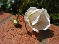 Rose on brick
