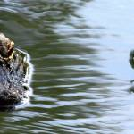 """""""Alligators"""" by marburg"""