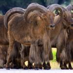 """""""Barbary Sheep"""" by marburg"""