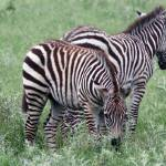 """Zebra Foals"" by marburg"