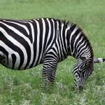"""Zebra"" by marburg"