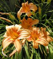 Family of Lillies