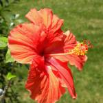 """Red Hibiscus"" by SandiOReilly"
