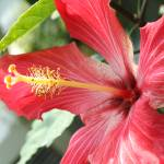 """Red Hibiscus"" by studio-E"