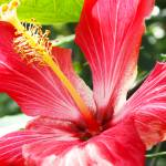 """Bright Red Hibiscus"" by studio-E"
