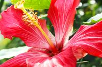 Bright Red Hibiscus