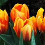 """Bright Orange Tulips"" by studio-E"