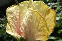 Pale Pink Hibiscus 2