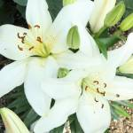 """Easter Lilies"" by studio-E"