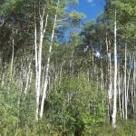 """aspen trees"" by tracyparsinen"