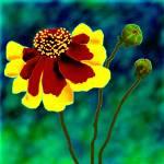 """coreopsis tinctoria"" by jwilliamd"