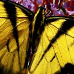 """Yellow Tiger Swallowtail Butterfly"" by PhotographsByCarolFAustin"